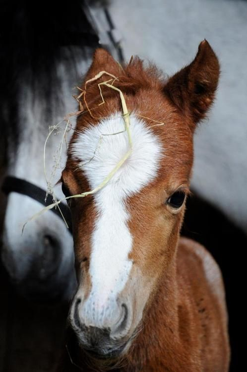 Cute baby horse with hay on his head!