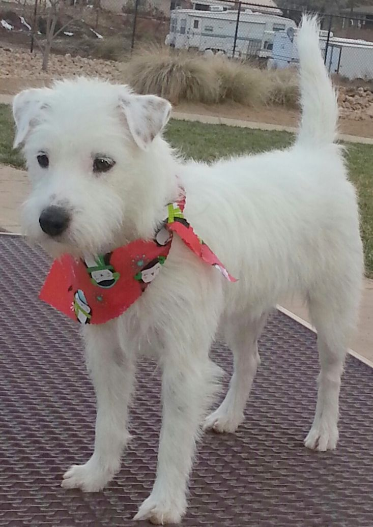 Nettie is an #adoptable Jack Russell Terrier (Parson Russell Terrier) mix w/ BECAUSE ANIMALS MATTER (BAM) in #Hurricane, #UTAH