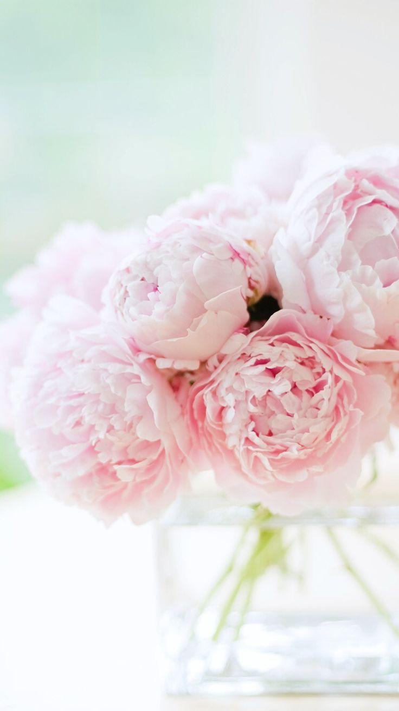 Beautiful soft Pink peonies Pink peonies wallpaper