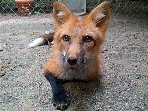 Το ιστορικό σοβιετικό πείραμα που πέτυχε να εξημερώσει τις αλεπούδες…