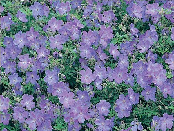 g ranium vivace plantes couvre sol taille roseraie guillot jardin. Black Bedroom Furniture Sets. Home Design Ideas
