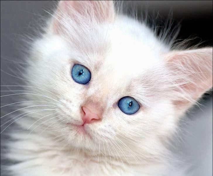 Imagenes de gatos - gatitos: Imagen gatito blanco con ojos azules  [1-3-16]