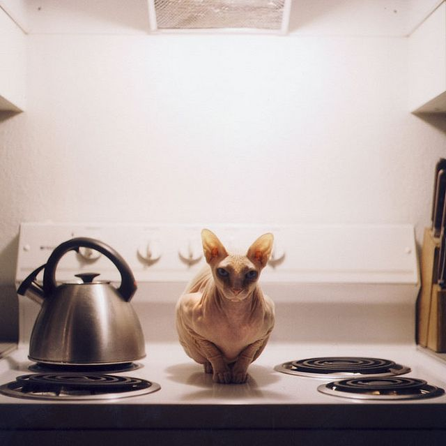 Hairless sphynx cat. Possibly thinks it's a tea kettle.