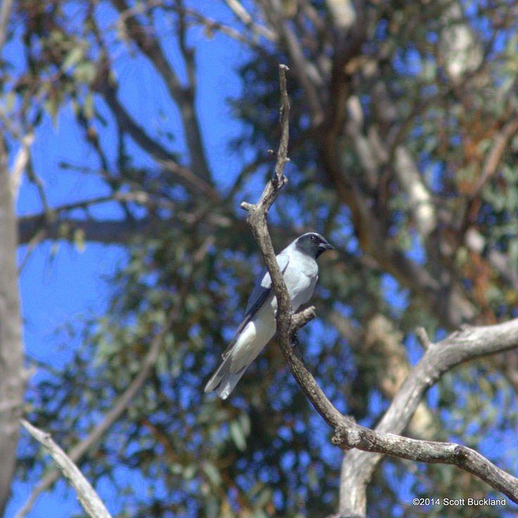 Black-faced Cuckoo-shrike - York, Western Australia - ©2014 Scott Buckland