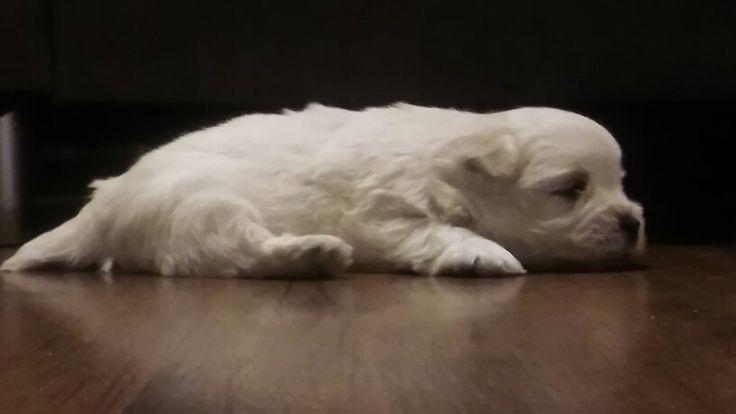 #puppies #puppielove #love #sleepy