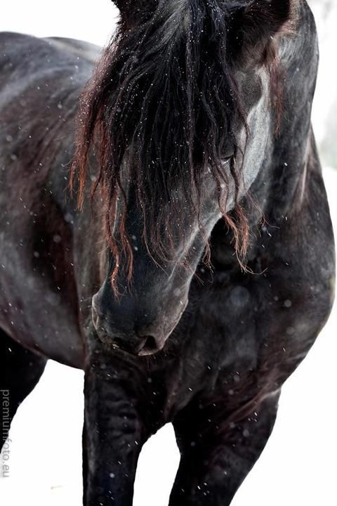 No historical romance is complete without horses.  A black one in the snow...beautiful