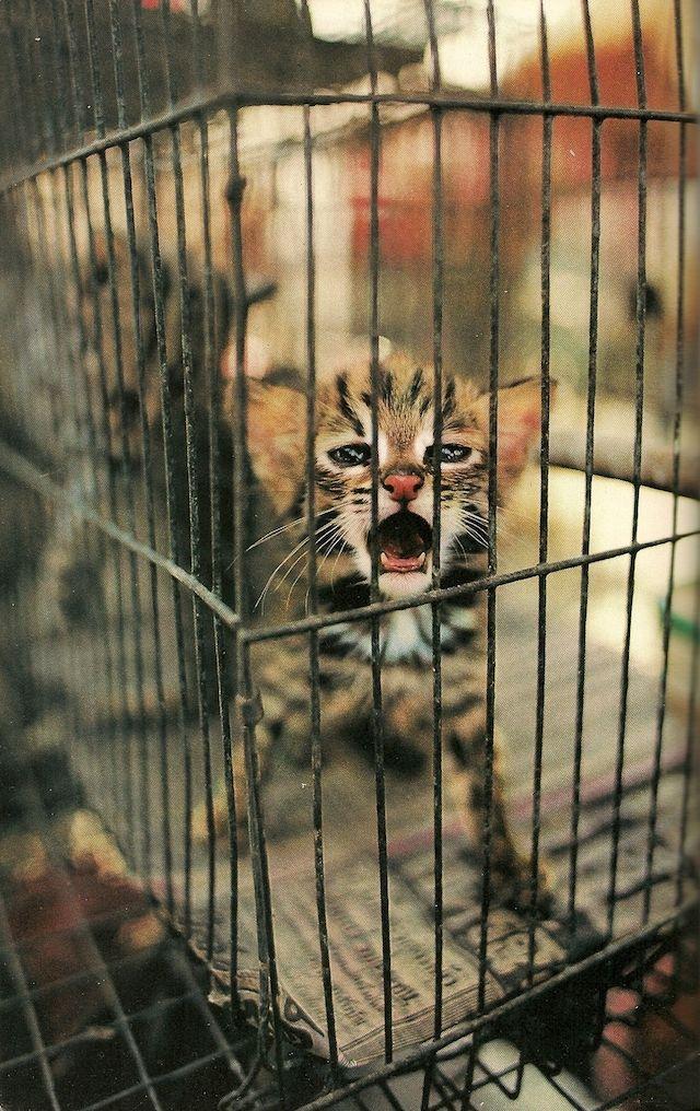 Vintage National Geographic | An endangered leopard kitten in a Bangkok market, March,1981.