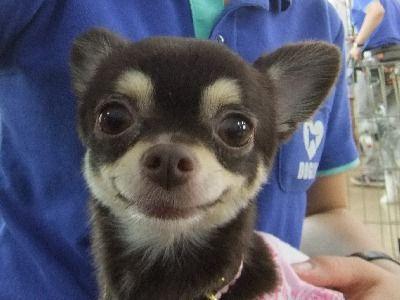 犬のしつけ成長日記DOGLYブログ1: チワワアーカイブ