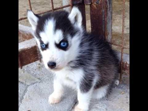 Husky yavru