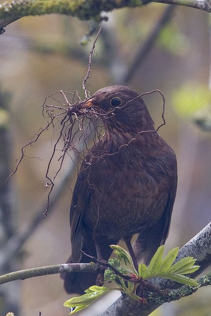 Blackbird carrying twigs | This female blackbird very dilige… | Flickr