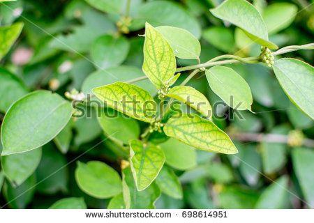 Medicinal Plant : Gymnema sylvestre also known as Miracle fruit, Gurmar