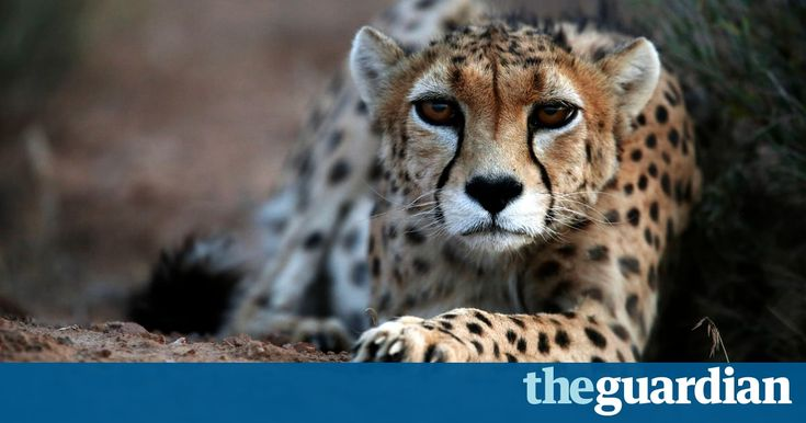 Asiatic cheetahs on the brink of extinction with only 50 left alive | Environment | The Guardian