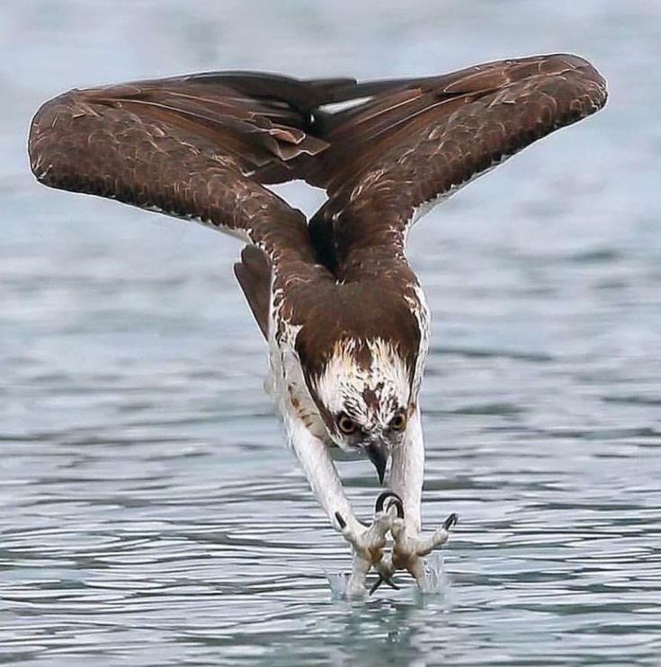 Falcão mostrando sua destreza em uma espetacular imagem, também é possível ver a imensa flexibilidade das asas