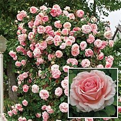 Pearly Gates Climbing RosePears Gates Rose, Exterior Wall, Climbing Roses, Climbing Pink Rose, Gardens Dreams, Rose Flower Gardens, Chicken Pens, Gates Climbing, Gardens Growing