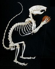 The 10 Best Images About Squirrel Anatomy On Pinterest
