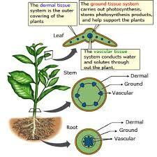 plant meristematic dermal ground tissue vascular tissue - Google Search                                                                                                                                                      More
