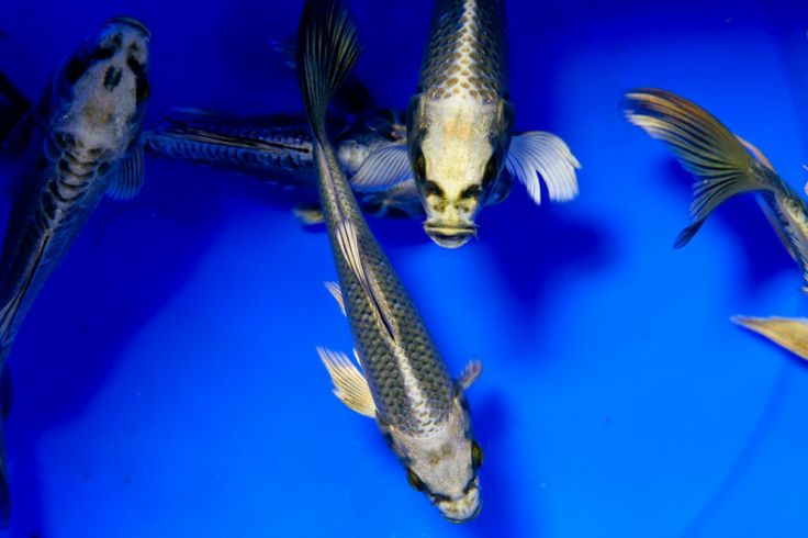 1000 images about ghost koi on pinterest beautiful for Ghost koi fish