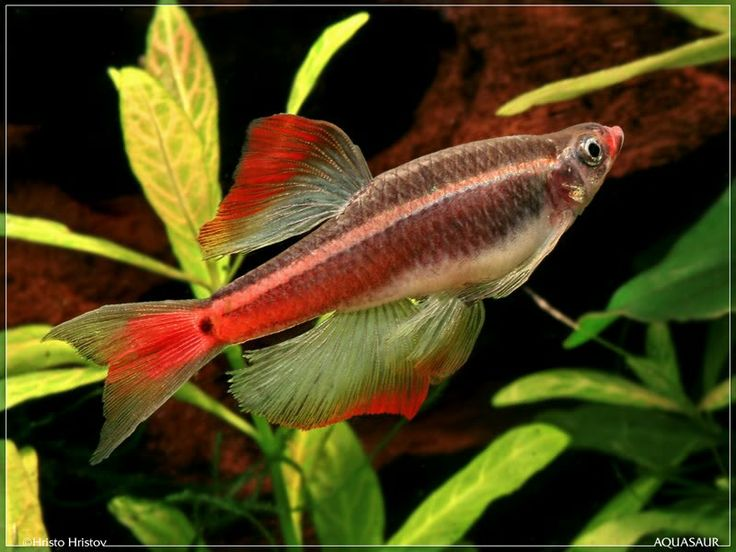 31 best images about white cloud mountain minnow from for Whiting fish florida