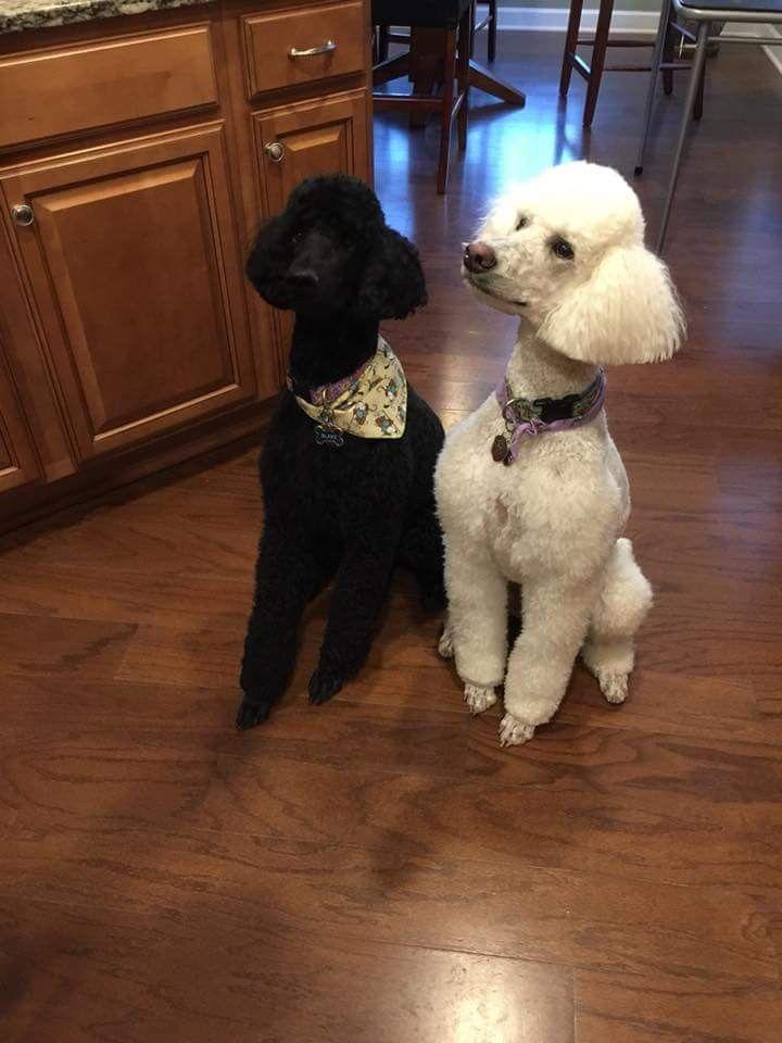 Annie Blake Poodle Dog Standard Poodle Pets