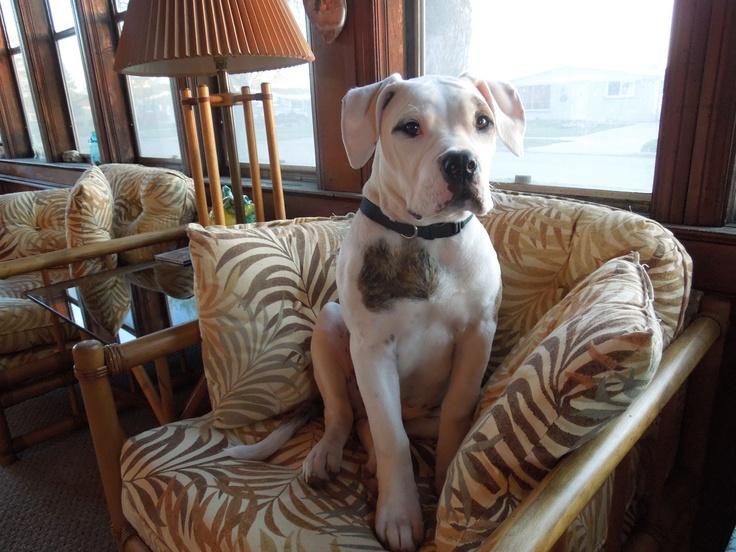 my bulldog has stolen my heart =)  Best dog ever: Bulldogs, My Heart, Stolen