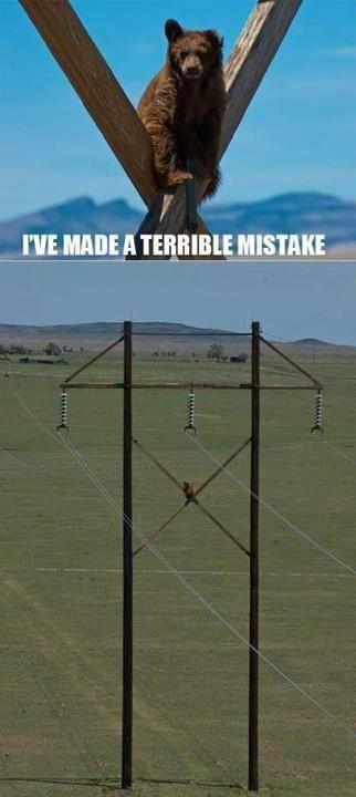 Bear climbed telephone pole.