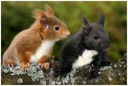 Das europäische Eichhörnchen gibt es in rot, braun und schwarz – Albinos sind …