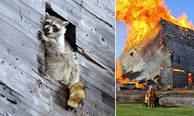 A raccoon has a close call when it became trapped in a century-old grain elevator being used in a controlled burn to train firefighters in Iowa.