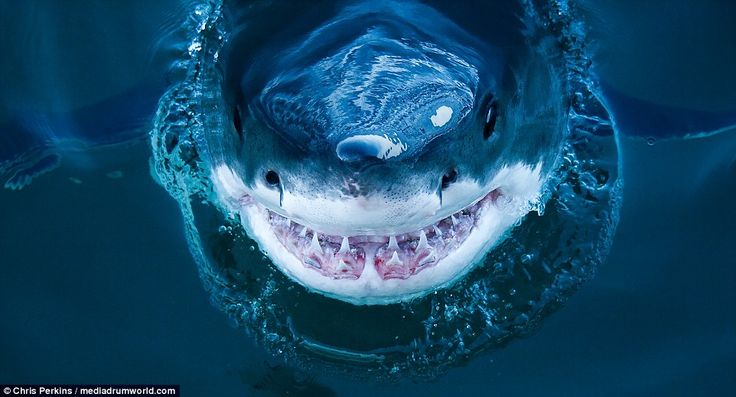 The perfectly composed image appears to show the great white shark smiling as it hungrily ...