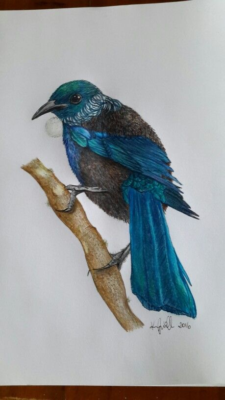 New Zealand tui drawing Faber-Castell pencils Native endemic bird