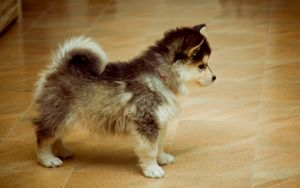 pomeranian husky mix-I don't even like dogs, but this is TOO cute not to want!