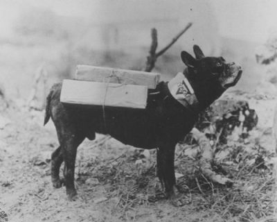 """YMCA Cigarette Dog delivery service during WW1. 'Mutt' a """"trench runner' Frenchie delivered cigarettes and comfort to the soldiers.  He was wounded twice and spent most of WW1 boosting moral of the 11th Engineers, shown here carrying cartons of cigarettes for the troops."""