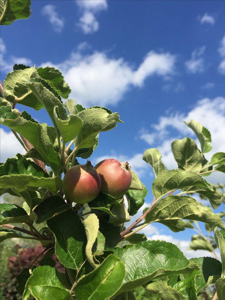 Elstar Apfel im Garten. Einige wenige haben dem letzten Frost standgehalten.