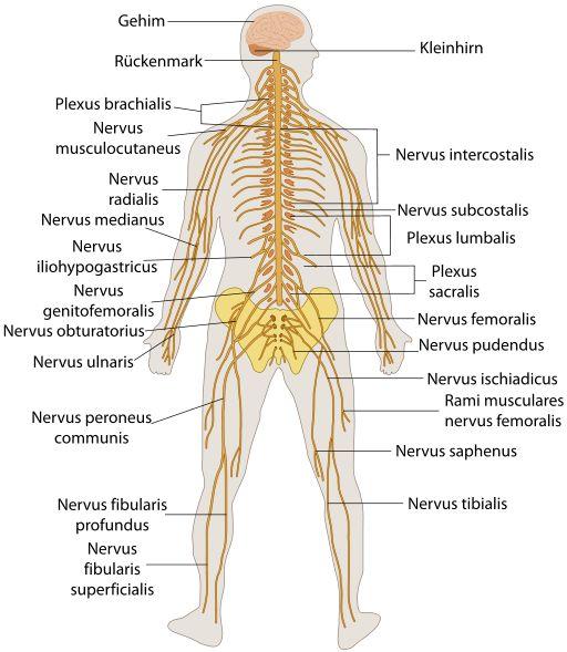 SITEMA NERVIOSO PERIFERICO ( SNP ): conecta el sistema nervioso central con las diferentes partes del cuerpo a través de 31 pares de nervios espinales.