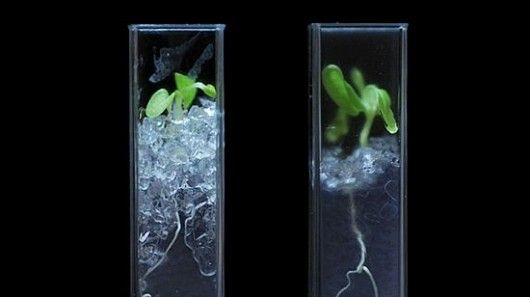 A team of researchers has developed an artificial transparent soil that allows scientists to make detailed studies of root structures.