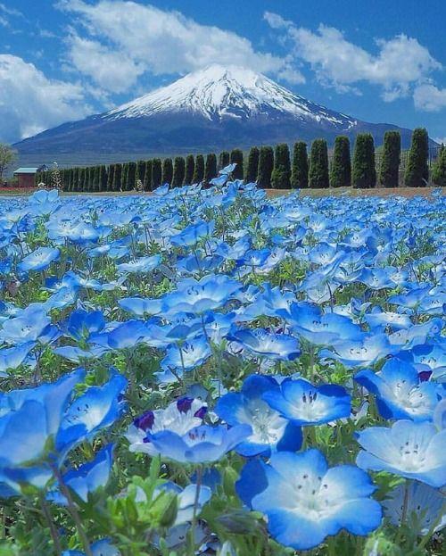 Blue blossom carpet  Yamanashi Japan. Photo by @minako3219 //...