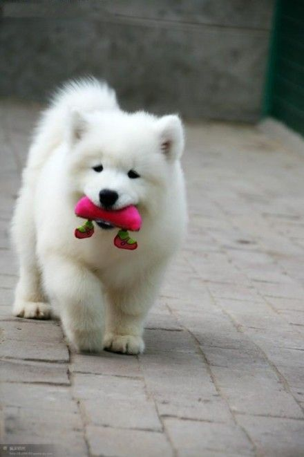 Samoyed if I actually get one of these puppies I'd be the happiest girl ever...