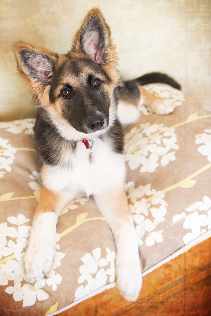 - German Shepherd/Border Collie Mix. Want more? Follow:http://dogsandpupsdaily.tumblr.com/