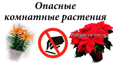 Вредные для здоровья комнатные растения. Фото, описание и видео.