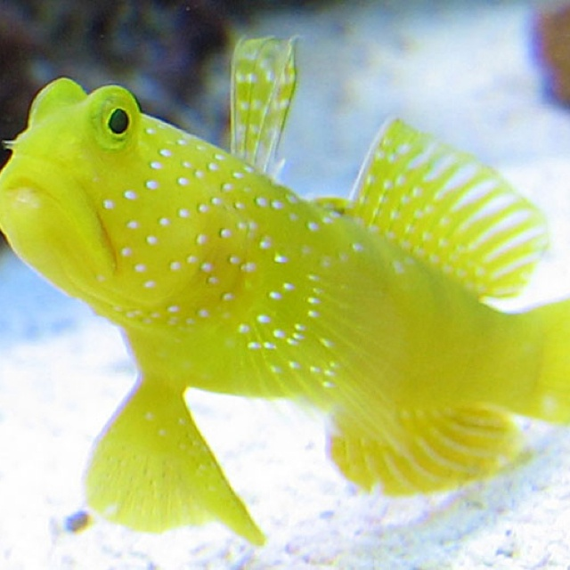 211 best fish tank ideas images on pinterest marine life for Yellow saltwater fish