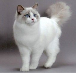 580x360px Ragdoll Cat Breeds With Pictures Picture in Ragdoll Cat