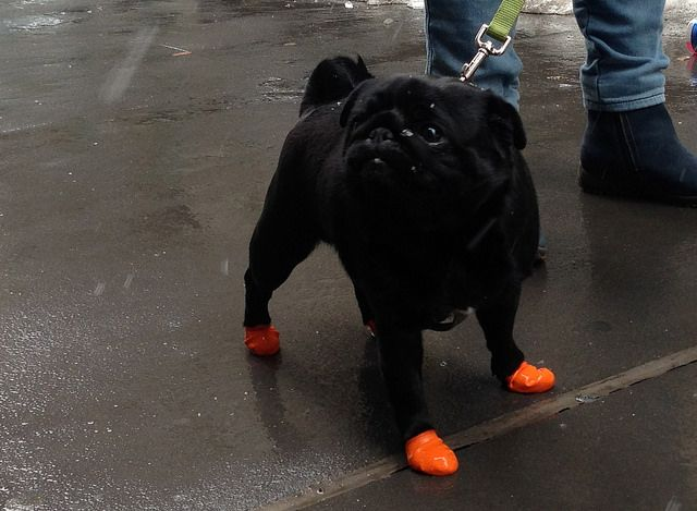 93 best pug images on pinterest pug dogs pug life and the neon works well against the midnight black of her puggy coat thecheapjerseys Gallery