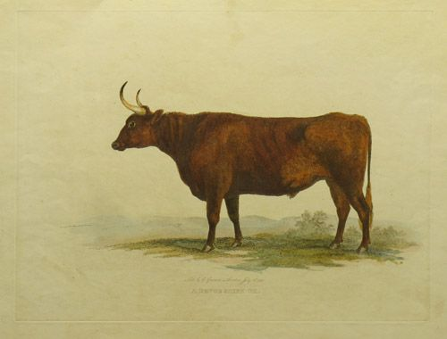 A Devonshire Ox. by George Garrard