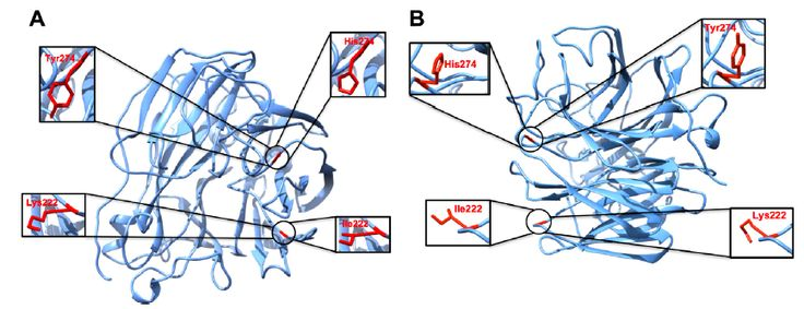 Figure 2 Three-dimensional structures of H5N1 and H1N1 neuraminidase A and B, respectively, showing the positions of the studied mutations.
