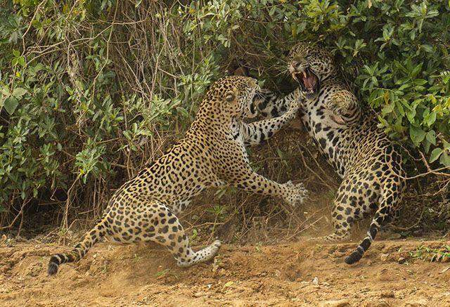 Pelea entre jaguares en el Pantanal de Brasil, foto de Joe McDonald