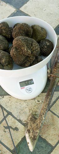 Truffles in the Marche Region: Acqualagna the tartufo capital of Italy -  article from The New York Times