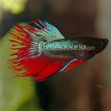 how to raise ph levels in betta aquarium
