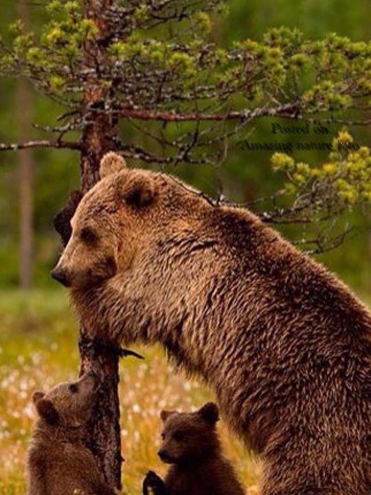 Boz ayı ile yavruları
