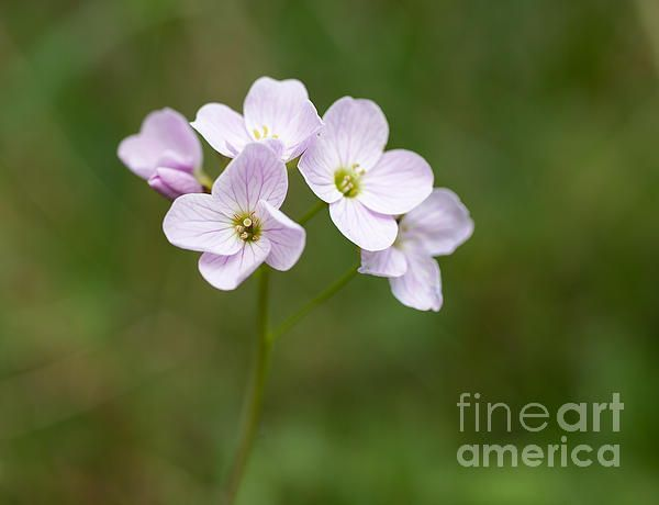 A small head of Lady's Smock, a wild flower also known as Cuckoo Flower, Cardamine pratensis.