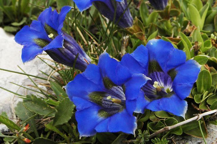 Genziana appenninica Famiglia: Gentianaceae Nome scientifico: Gentiana dinarica Beck Descrizione: Pianta erbacea perenne alta 5-8 cm, con foglie riunite alla base e scapi fiorali eretti; fiori di 3-4 cm blu-violacei con chiazze più scure. Fiorisce tra giugno e luglio. Vive in pascoli rupestri altomontani. In Abruzzo è specie protetta dalla L.R. 11.9.1979 n. 45.