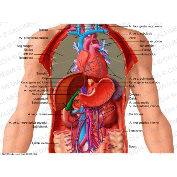 les 25 meilleures idées de la catégorie anatomie de l abdomen sur, Skeleton